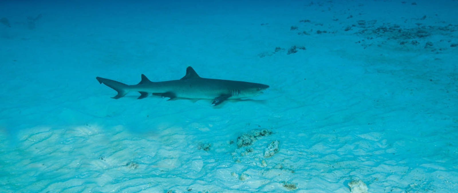 image reef shark